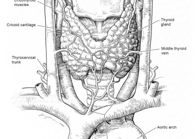 Vasculature of the Thyroid Gland