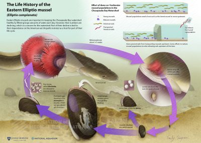 The Life History of the Eastern Elliptio mussel