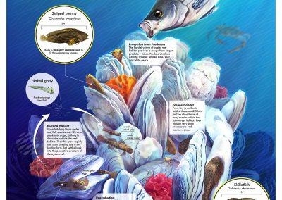Adaptations of Small Oyster Reef Fishes of the Chesapeake Bay