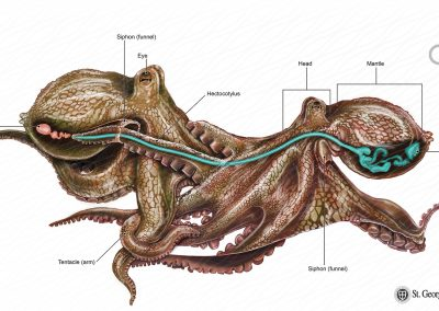 The Common Octopus Mating Anatomy